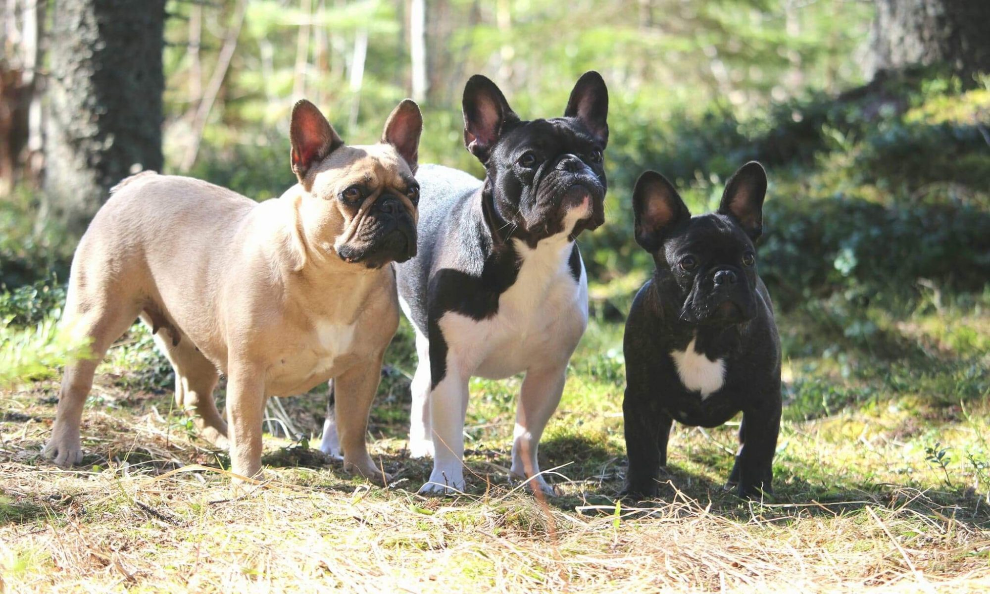 BonBoule frenchies